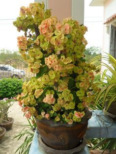 Euphorbia Milii, Cacti And Succulents, Planting Succulents, Planting Flowers, Backyard Plants, House Plants, Crown Of Thorns Plant, Unusual Flowers, Hardy Plants