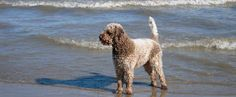 Lagotto Romagnolo is a dog breed from the Romagna sub-region of Italy ...