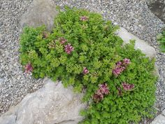 Sedum Stonecrop John Creech   Excellent creeping sedum that forms a tight mat as it spreads. Bright green stems root at every node, turning burgundy in the fall. Foliage grows much closer together than other spuriums, making it a delight to have in pathways, patios and rock gardens.   - See more at: http://www.stepables.com/5/Sedum_spurium_John_Creech_Stonecrop.html#sthash.4RRoQgco.dpuf
