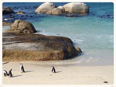 African penguins, seen