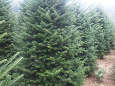 Christmas Tree Care Tip of the Week: Your tree is living! be sure to check it's water supply daily! Christmas Tree Care, Fresh Cut Christmas Trees, Water Supply, Check, Plants, Plant, Planting, Planets