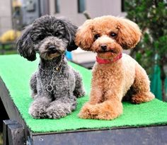 Toy Poodle Police Force