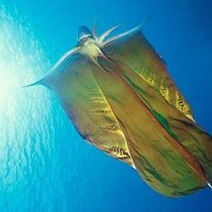 Blanket Octopus - who knew? When threatened, these cephalopods can unfurl a large flap to make themselves appear larger than they actually are. The females can grow up to 6 feet in length while the males are only a few centimeters long.