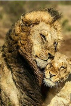 Lions are big proud hunters. Its not easy to conqier the heart of a lion but I thing if it's yours the it is love forever! Nature Animals, Animals And Pets, Baby Animals, Funny Animals, Cute Animals, Big Cats, Cats And Kittens, Cute Cats, Crazy Cats