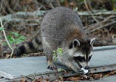 Raccoon eating a marshmallow. ❤️