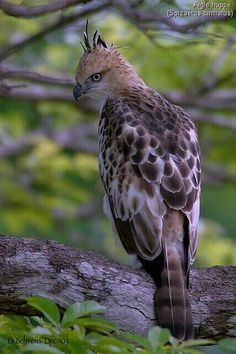 Aigle huppé // Changeable Hawk-Eagle (Nisaetus cirrhatus) - breeds in the Indian Subcontinent, across Southeast Asia, Indonesia and the Philippines - Kinds Of Birds, All Birds, Birds Of Prey, Love Birds, Pretty Birds, Beautiful Birds, Animals Beautiful, Vida Animal, Mundo Animal