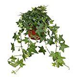 Leafy Plants, Ivy Plants, Hardy Plants, Indoor Plants, Pittsburgh, Home Flowers, Cut Flowers, Hedera Helix, Hydrangea Macrophylla
