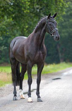 Hennessy (De Niro x Jazz x Ulft) KWPN Approved Champion Dressage Stallion Solaris Sport Horses