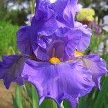 "Cowabunga $ 5.00  TB, RE-9,  M 36"" tall Large, ruffled metallic blue lilac flower, golden orange beards, musky fragrance.    By  T. Burseen, 1996- Horton Iris Garden"