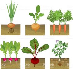 Set of different vegetables plant showing root structure below ground. Set of different vegetables Planting Vegetables, Planting Seeds, Growing Vegetables, Fruits And Vegetables, Root Structure, Vegetable Drawing, Different Vegetables, Plant Drawing, How To Level Ground