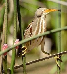 Foto socoí-amarelo (Ixobrychus involucris) por Alejandro Olmos | Wiki Aves -