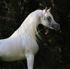 CLASSIC RASHMAN (Authentic Dahman x Classic Rashma by Alidaar) 2004 grey SE stallion bred by Poth Arabians