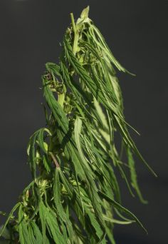 cool Adelanto Metropolis Council approves scientific cannabis develop ordinance