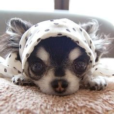 It's a new fashion for dogs. Haha. #dog #chihuahua #fashion @dog_dada(Dada) | DM.Stagram - Instagram Messenger (beta)
