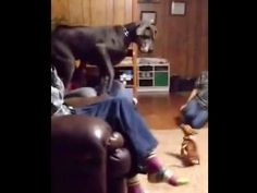 Great Dane Has The Most Unexpected Reaction To Meeting A Chihuahua
