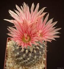 Картинки по запросу красота кактусов