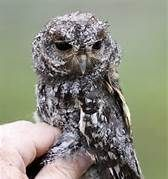 Elf owl - Bing Images