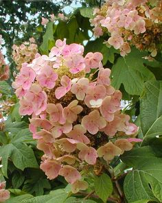 Oakleaf hydrangea bloom turning pink as it ages