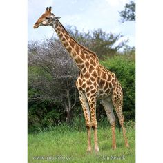 Giraffe Photos, Giraffe Images | Photobank NaturePhoto-CZ ❤ liked on Polyvore featuring animals