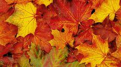 Falling Maple Leaf wallpaper.