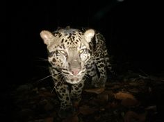 SUNDA  CLOUDED  LEOPARD  / Photos: Palm oil threatens Borneo's rarest cats  /  Sunda clouded leopard caught in a camera trap. In Borneo the Sunda clouded leopard is the largest cat species, but in Sumatra it competes with the Sumatran tiger.