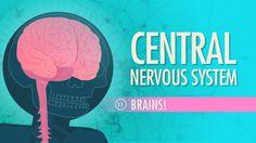 Central Nervous System: Crash Course A&P #11 - Crash Course