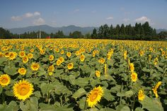 Sunflower Field in Niigata ?Great sunflower field in the middle of nowhere in Niigata in town called Fields Sunflower Fields, Lavender Fields, Niigata, Beautiful Places In The World, Mellow Yellow, Amazing Gardens, Daisies, Sunflowers, Middle