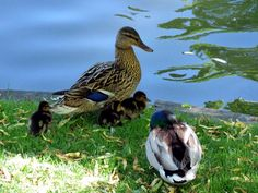 Ducks (family). by henri.van.den.abeele