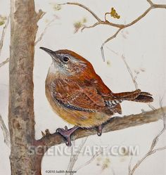 Carolina Wren - Illustration@Science-Art.Com