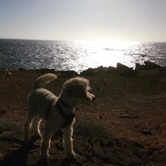 Beautiful beach days!  #summer #beach #cute #warrnambool #holidays #roadtrip #puppy #pup #puppies #puppylove #dog #dogsofinstagram #dogs #dogslife #miniaturepoodle #poodle #poodlesofinstagram by trippthewonderdog