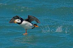 Horned Puffin. Photo: Aaron Baggenstos / Audubon Photography Awards