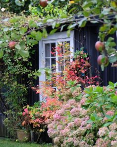 Blueberries and hydrangeas dressed in autumn colors.   Happy Saturday.....