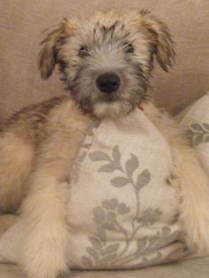 Wheaten Terrier... This will be our dog in the future! He'll make a perfect friend for Bergie! He's hypoallergenic!