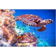Hawksbill Turtle Swimming Under Water Photography by Eazl, Size: 24 x 16, White
