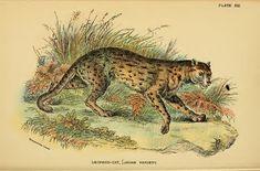 File:Lydekker - Leopard Cat (Javan variety).JPG