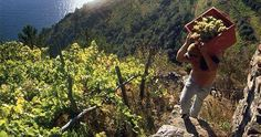 Grape harvest time in the #CinqueTerre