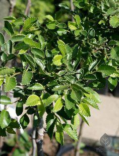 🌱 Drobne i ząbkowane liście, białe obrzeża, podatność na formowanie - dzięki tym cechom wiąz drobnolistny 'Geisha' to najlepszy wybór na centralne miejsca w Twoim ogrodzie  👍  #wiązdrobnolistny #drzewaozdobne #krzewyozdobne #ogród #rośliny #sadzonkiroślin Geisha, Herbs, Herb, Geishas, Medicinal Plants