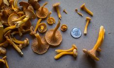 Yellowfoot chanterelle mushrooms or winter chanterelles
