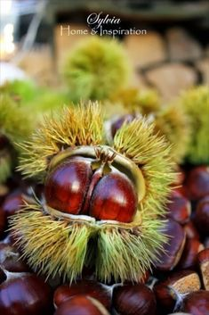 Chestnuts. Buckeye's look the same with only slight difference. Buckeye's are not edible.