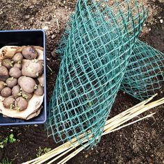 easiest potato growing method ever, gardening, Green plastic fencing bamboo stakes and well rotted compost Garden Frogs, Vegetable Garden, Fence Garden, Organic Gardening, Gardening Tips, Plastic Fencing, Potato Bin, Ideas Prácticas, Urban Gardening