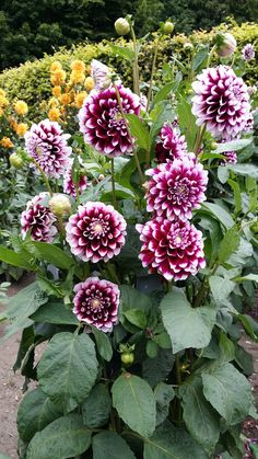 Unusual Flowers, Amazing Flowers, Beautiful Roses, Beautiful Flowers, Summer Plants, All Plants, August Flowers, Purple Garden, Dahlia Flower