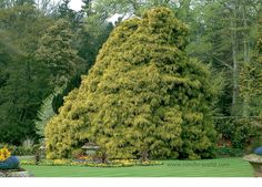A popular, slow-growing plant like 'Filifera' but with branchlets and foliage bright yellow. In ten years tall. Conifer Trees, Growing Plants, Bright Yellow, Golf Courses, Popular, Gardens, Most Popular, Folk