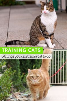 If you thought training was only for dogs, then think again, because you can train your cat too! We share our secrets to successfully training cats.   5…