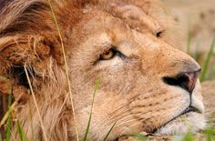 В датском зоопарке приглашают детей посмотреть на вскрытие льва