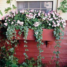 Erstellen Sie einen faszinierenden Blick durch Mischen ein paar verschiedener Blumen, die ähnlich aussehen. Hier füllen Geranien und fleißige Lieschen den Fenster Blumenkasten mit rosa Blüten. A. Vinca major 'Variegata' – 4 B. Geranium (Pelargonium 'Bullseye Light Pink') – 2 C. Impatiens 'Accent Rosa Picotee' – 5