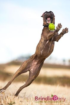 """Hair of the Dog, Pet Photography Contest – Top Ten """"Action"""" www.brindleberrypetphoto.com"""