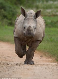 Crisis point: The deaths of rhinos could overtake the births of these majestic animals bet...