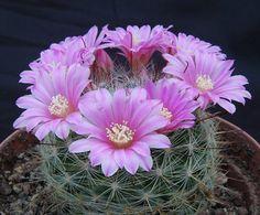 Mammillaria Stampferi Cactus -