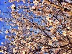 Almond blossoms Almond Blossom, Blossoms, City Photo, Nature, Flowers, Naturaleza, Nature Illustration, Off Grid, Florals