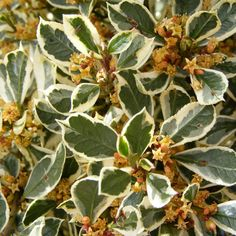 Rhamnus alaternus 'Argenteovariegata' - Bourgue épine panaché - Nerprun alaterne argenté